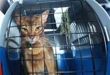 アッピー、お出かけ  #猫 #アッピー #アビシニアン