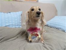 ハッピー・7歳の誕生日  #犬 #ミニチュアダックスフント #ハッピー #誕生日