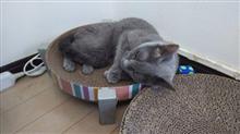 夏場のルルのお気に入りの場所  #猫 #ルル #ロシアンブルー #爪とぎ
