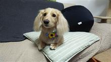 ハッピーはトリミング  #犬 #ハッピー #ミニチュアダックスフント #トリミング #マイクロバブル