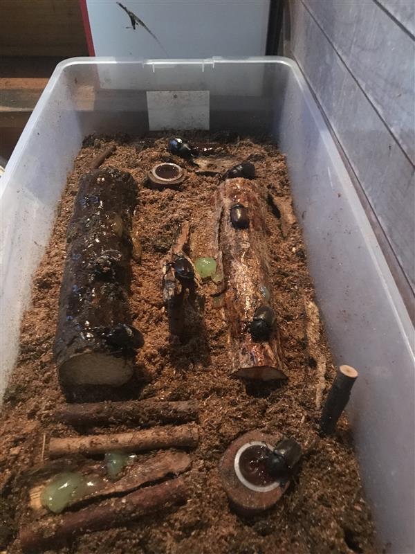 カブトムシ 幼虫 飼い 方