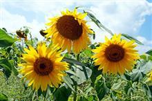 「ひまわり」を観に富士の「花の都公園」へ