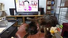アッピーは叱られないかも…(^^)v   #猫 #アッピー #アビシニアン #チコちゃんに叱られる!