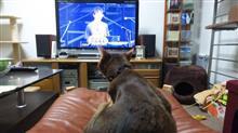 アッピー、サザンのライブを見る  #猫 #アッピー #アビシニアン #サザンオールスターズ #WOWOW