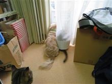あっ!外にいる!  #猫 #アッピー #ゆめ #あや #アビシニアン #アメショー #犬 #ハッピー #ミニチュアダックスフント