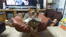 いたずらされた…   #猫 #アッピー #アビシニアン