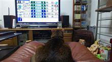 ニュースと天気予報を見ていた   #猫 #アッピー #アビシニアン #NHK #ニュース #天気予報