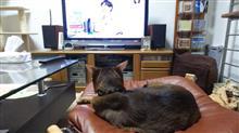 今週もアッピーはチコちゃんに叱られる!を見る   #猫 #アッピー #アビシニアン #チコちゃんに叱られる!