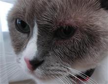 ゆきちゃん、通院   #猫 #ゆき #スノーシュー #通院