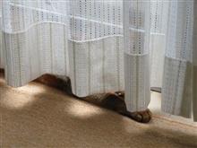 また来ないかな…  #猫 #アッピー #あや #アビシニアン #窓辺