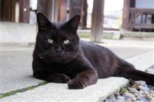 映像あり!大型犬と同じレベルの「巨大な黒猫」が発見される!