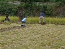 ふるさと村では、稲刈りが・・・