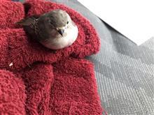 この鳥何でしょう?(ヒタキの種類だとは思うのだが…)