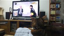 今日は、「所さん!大変ですよ」を見ていた  #猫 #アッピー #アビシニアン #NHK #所さん!大変ですよ