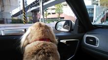なにで認識しているのか?  #犬 #ハッピー #ミニチュアダックスフント #横浜スタジアム #ワンコット