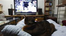 「チコちゃんに叱られる!」が始まったら下りてきた   #猫 #アッピー #アビシニアン #NHK #チコちゃんに叱られる!