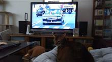 アッピー、祝賀御列の儀の中継を見る   #猫 #アッピー #アビシニアン #祝賀御列の儀 #即位祝賀パレード