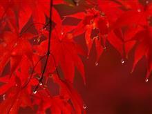 (アヴァンタイム)雨の紅葉