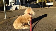 ハッピーを連れて、近所の神社めぐり   #犬 #ハッピー #ミニチュアダックスフント #熊野神社 #日吉神社