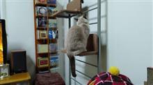 悩んでいます(^^ゞ  #猫 #ゆき #スノーシュー #キャットウォーク