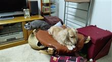 ハッピー君、みんなが迷惑しているようですよ(^^ゞ  #犬 #ハッピー #ミニチュアダックスフント #海峡封鎖