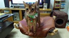 誕生日が近いので…(^^ゞ   #猫 #アッピー #アビシニアン #犬 #ハッピー #ミニチュアダックスフント #チョーカー