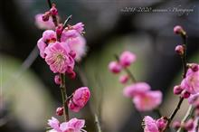 満開近し梅の花