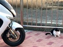 ティーナさんと 野良猫 (マジェスティ125 Fi)