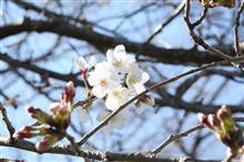 桜、いよいよ🌸