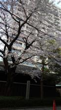 満開 桜花咲き誇る