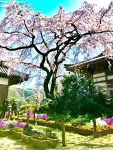 今治市朝倉 無量寺の枝垂れ桜