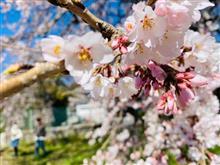 岡崎の桜🌸