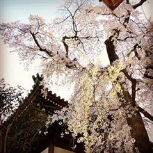 愛媛今治市朝倉 無量寺のしだれ桜・・・もう満開。