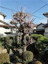 梅が咲いた……古い…