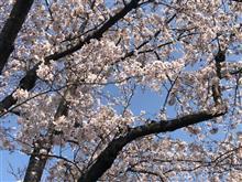 桜は綺麗ですが、、、