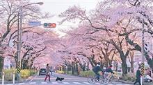相模原市内の桜並木