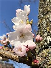 住宅地も桜🌸の開花宣言