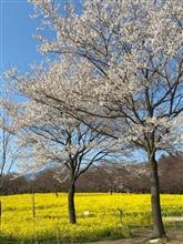 桜と菜の花〜(*'▽'*)
