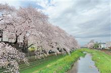 外出自粛ですが...野川桜のために散歩