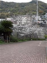 桜はまだまだですね…