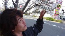 お店の前の桜が咲きはじめました♪エスティマ ムーヴラテ純正流用セット品装着♪byトレッド名古屋港区十一屋店