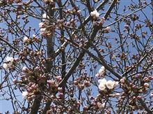桜、開花。