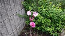 小さな花桃