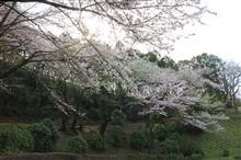 七沢森林公園の桜 (2020.03.22)