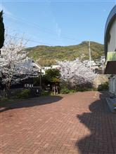 今日の桜…そして、ひとり結いの浜ミーティング!?