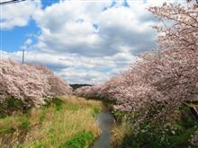 宇治田原の桜
