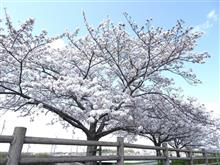 川沿いの桜を見に行きました!
