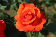 バラは咲いたかアジサイはまだか