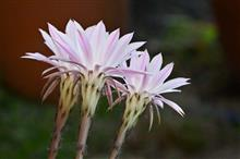 儚いサボテンの花