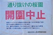 通り抜けの桜(長瀞)2020